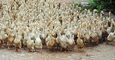Free March Of The Ducks Royalty Free Stock Images - 505659