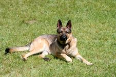 Free Shepherd-dog Royalty Free Stock Image - 506106