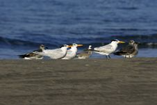 Free Gulls Stock Photography - 506812
