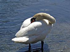 Free Swan Stock Photo - 507850