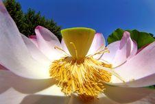 Free American Lotus Stock Image - 507961