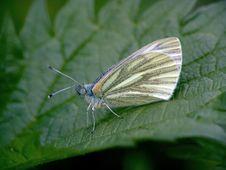 Free Butterfly Pieris Napi. Stock Photo - 508290