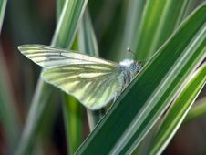 Free Butterfly Pieris Napi. Royalty Free Stock Photo - 508325