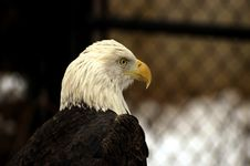 Free Majestic Eagle Royalty Free Stock Image - 509476