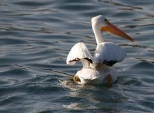 Free White Pelican Royalty Free Stock Photography - 509697