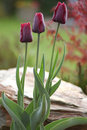 Free Dark Red Tulips In The Garden Royalty Free Stock Photos - 5000618