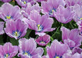 Free Open Purple Tulips Royalty Free Stock Photos - 5001788