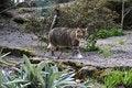 Free Tabby Cat Walking Along Stone Stock Image - 5001791