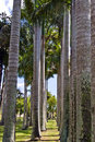 Free Row Of Palms Royalty Free Stock Image - 5003686