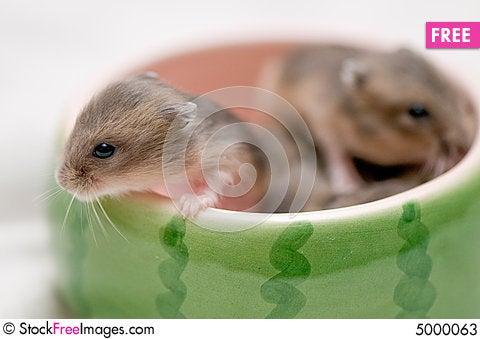 Free Hamster Babies 1 Stock Photos - 5000063