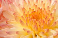 Pinkish Chrysanthemum Series21 Royalty Free Stock Photo