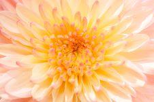 Pinkish Chrysanthemum Series20 Royalty Free Stock Photo