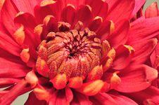 Free Crimson Chrysanthemum Macro 11 Stock Image - 5000091