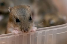 Hamster Babies 3 Royalty Free Stock Photography