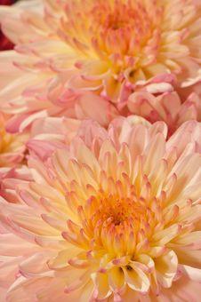 Pinkish Chrysanthemum Series19 Royalty Free Stock Photos