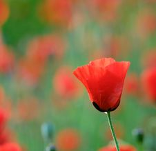 Poppies Royalty Free Stock Photos