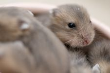 Hamster Babies 8 Royalty Free Stock Images