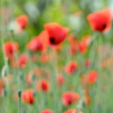 Free Poppies Royalty Free Stock Photos - 5000238
