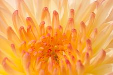Free Pinkish Chrysanthemum Series 3 Stock Image - 5000291