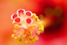 Free Hibiscus Rhapsody Stock Images - 5000314