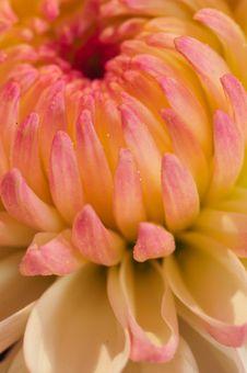 Pinkish Chrysanthemum Series10 Stock Images