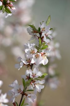 Free Blossoming Branch Stock Photos - 5000443