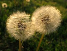 Free Pair Of Dandelions Royalty Free Stock Images - 5000539