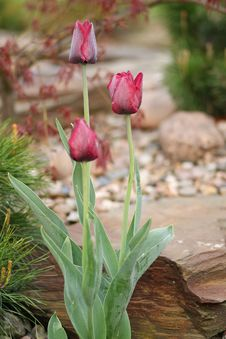 Free Dark Red Tulips In The Garden Stock Photo - 5000610