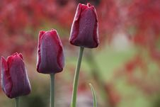 Free Dark Red Tulips In The Garden Royalty Free Stock Images - 5000629