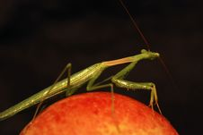 Free Praying Mantis On An Apple Royalty Free Stock Photography - 5000857