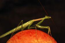 Praying Mantis On An Apple Royalty Free Stock Photography