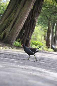 Free Bird Crossing The Road Stock Photos - 5001383
