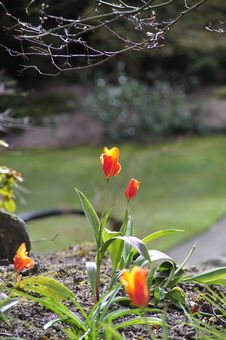 Free Spring Tulips Royalty Free Stock Image - 5001406
