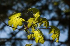 Free Leaves In Sunshine Stock Image - 5002411