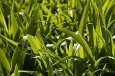 Free Green Grass Background Royalty Free Stock Photography - 5002487