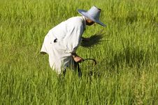Free Work On The Rice Field Royalty Free Stock Image - 5002736