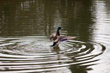 Free Duck Stock Photo - 5003190