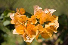 Free Orange Bougainvillea Stock Photography - 5003662