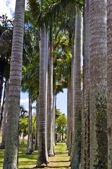 Free Row Of Palms Royalty Free Stock Image - 5003686