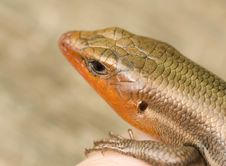Free Broad-Headed Skink Stock Photos - 5003743