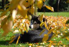 Free Siberian Husky Stock Image - 5004071