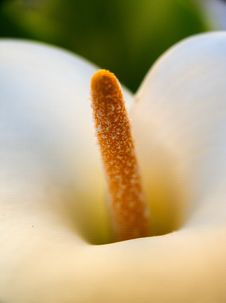 Free Calla Detail Royalty Free Stock Image - 5004346