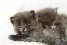 Two Nice Grey Kittens Royalty Free Stock Image