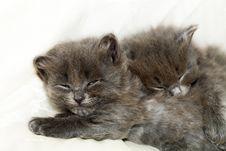 Free Two Nice Grey Kittens Royalty Free Stock Image - 5005256