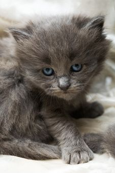 Free Angry Grey Kitten Royalty Free Stock Photography - 5005267
