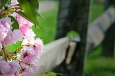 Free Spring Blossoms On Fence Royalty Free Stock Images - 5005789