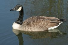 Free Canada Goose Stock Image - 5005801