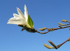 Free Magnolia Flower Royalty Free Stock Images - 5005819