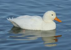 Free White Duck Stock Photography - 5005892