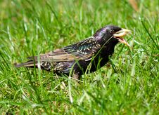 Free Starling On Grass Royalty Free Stock Photo - 5006025